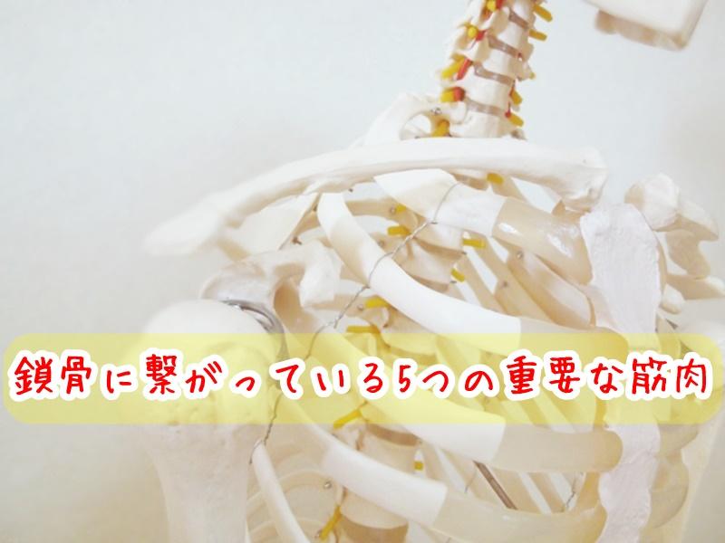 鎖骨に繋がっている5つの重要な筋肉