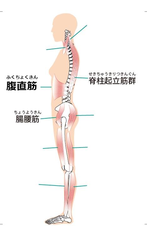 脊柱起立筋 腸腰筋 腹直筋