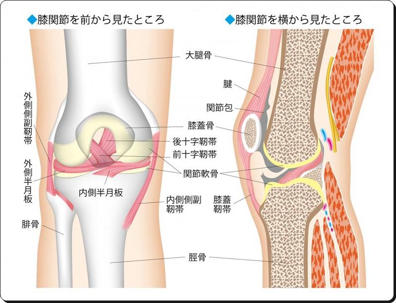 膝軟骨の構造
