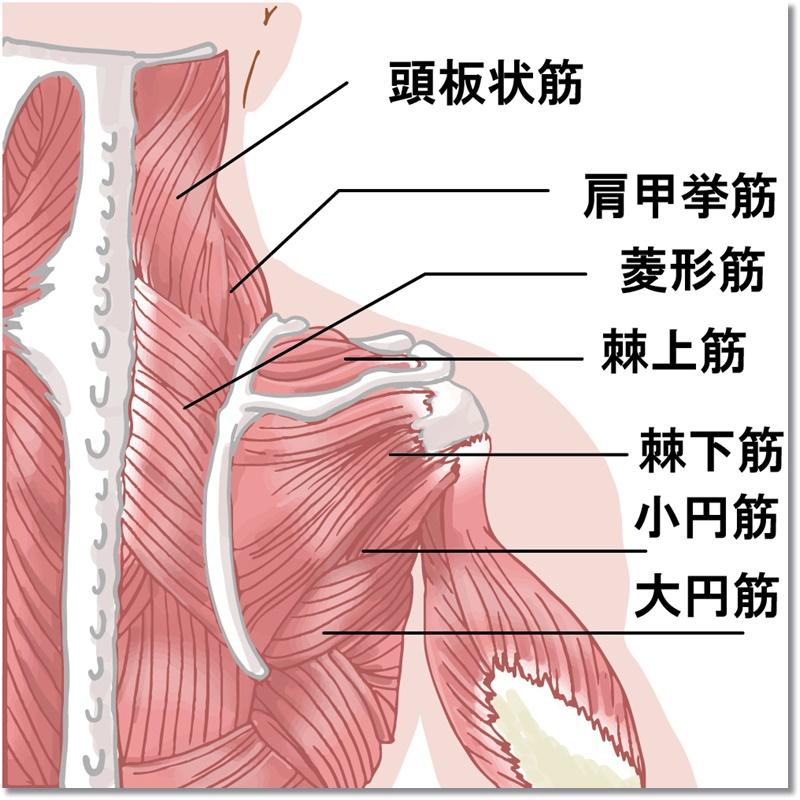 肩甲骨まわりの筋肉
