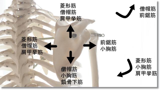 肩甲骨を使う筋肉
