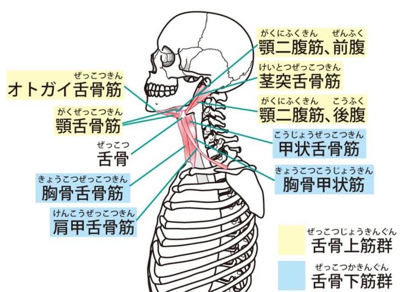 舌骨筋群(ぜっこつきんぐん)